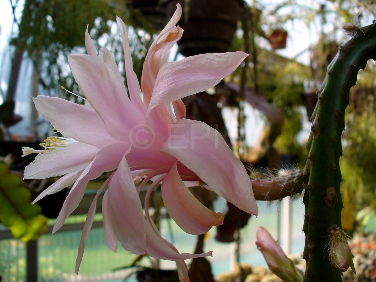 Aporocactus-Beauty-1588