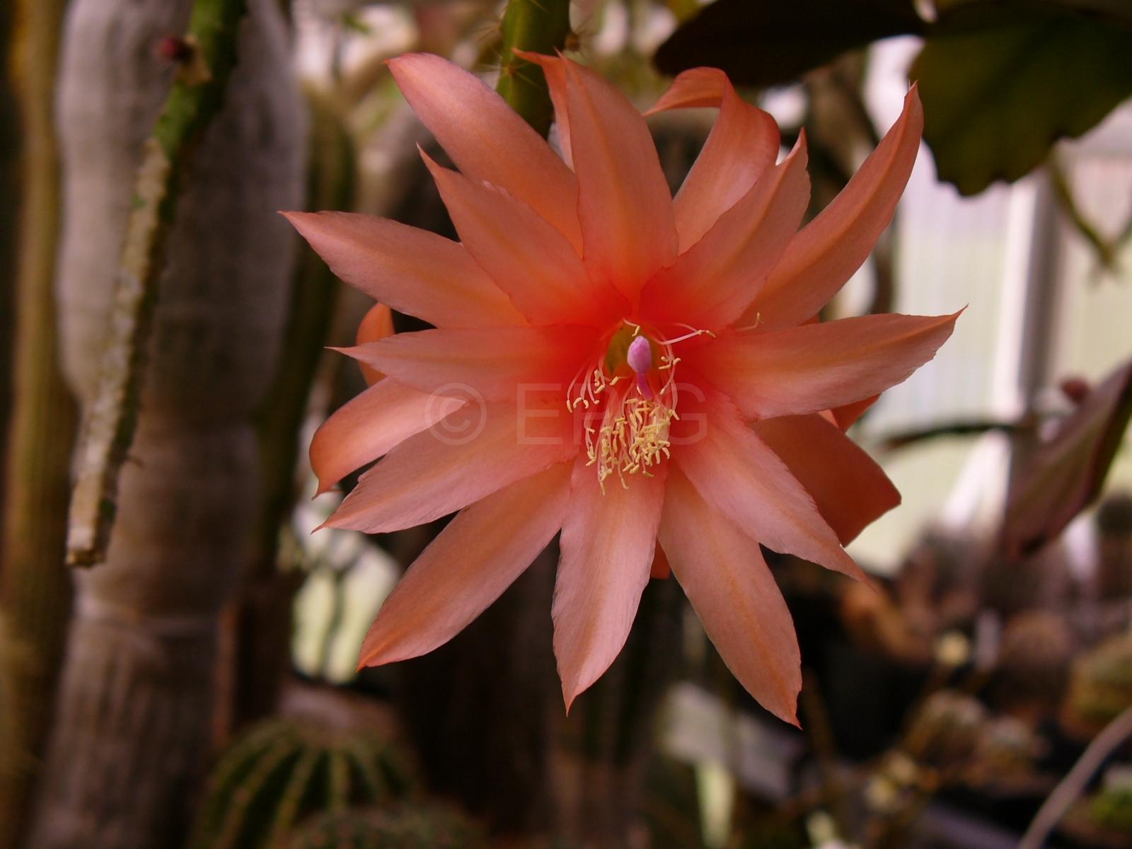 Aporocactus-Carolina-1818-3