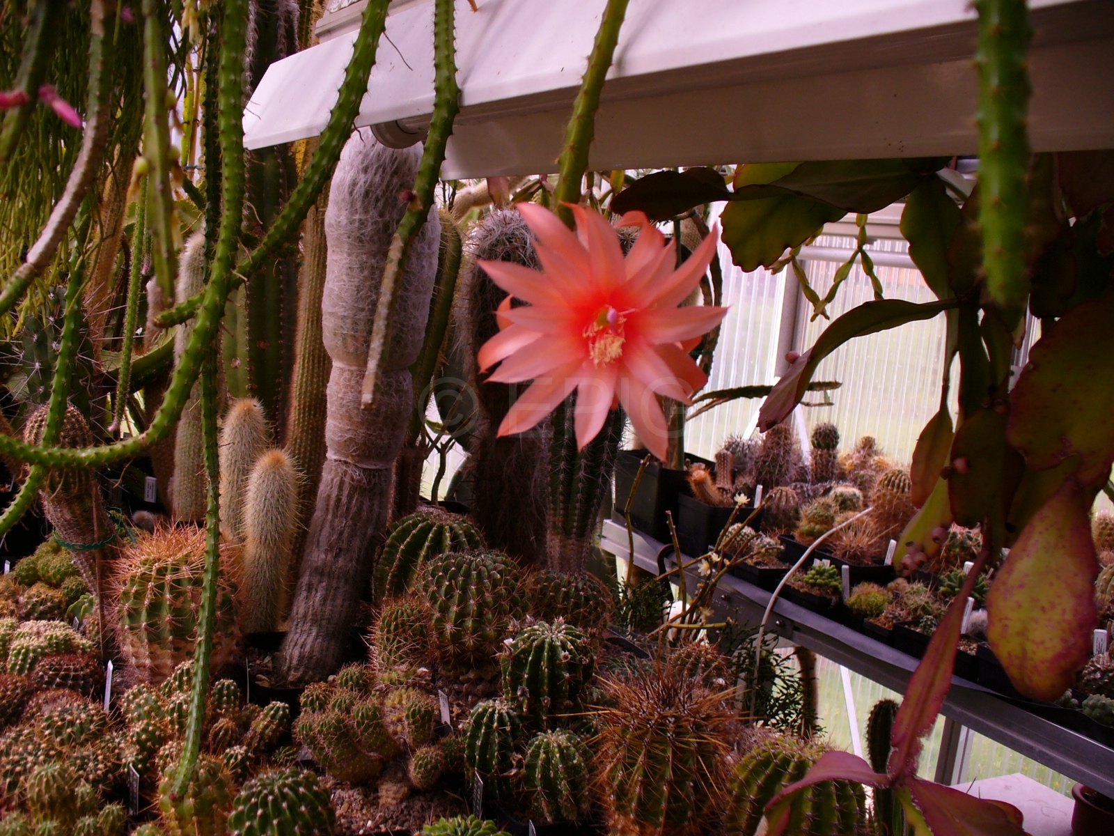 Aporocactus-Carolina-im-GH-1818