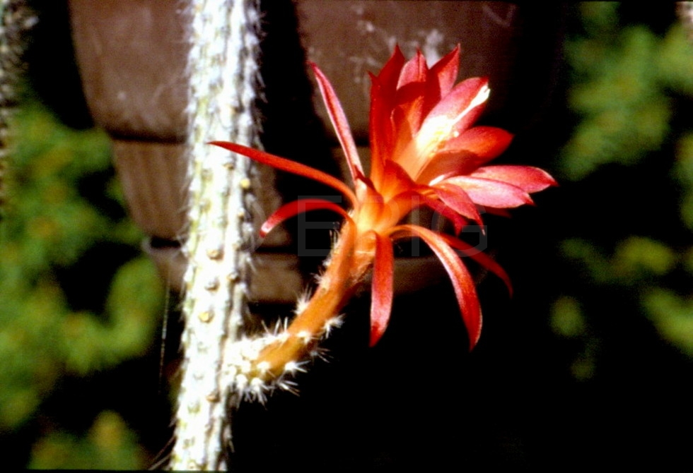 Aporocactus-Eugen-1639