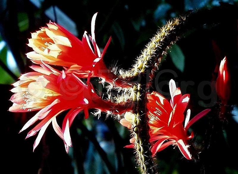 Aporocactus-Hybride-Mallisonii-2