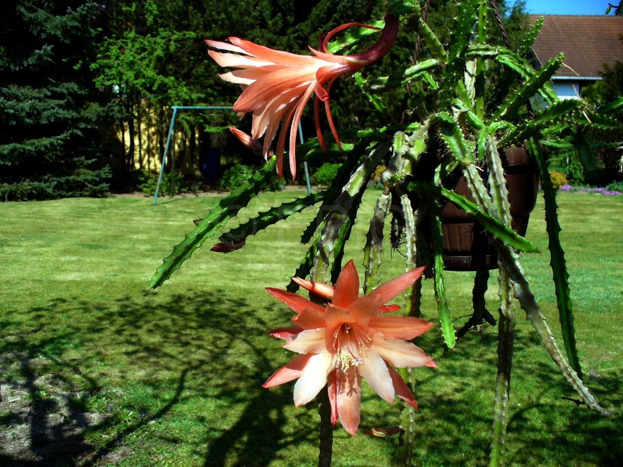Aporocactus-Lily-1480