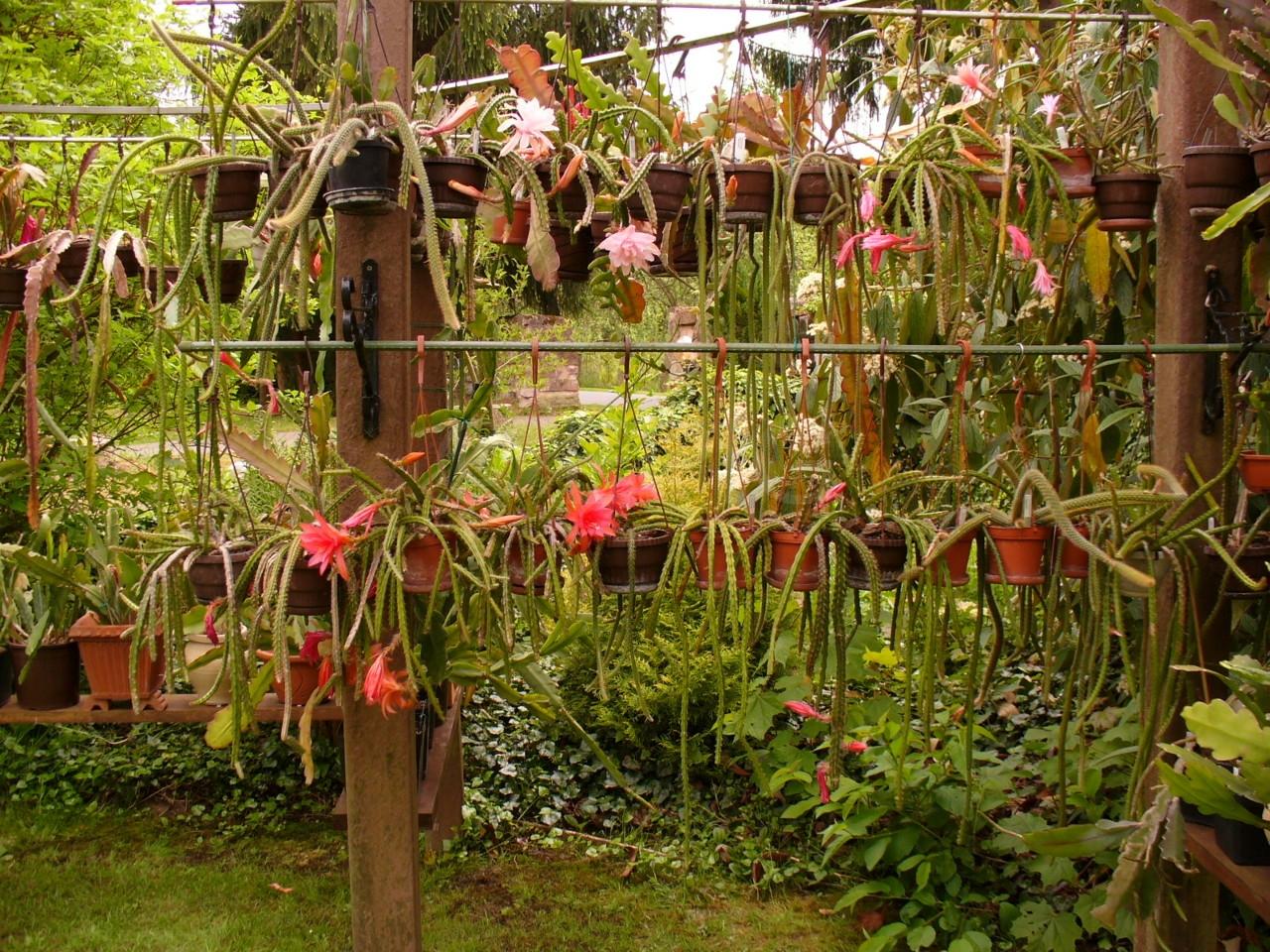 Aporocactus-Mai-2008