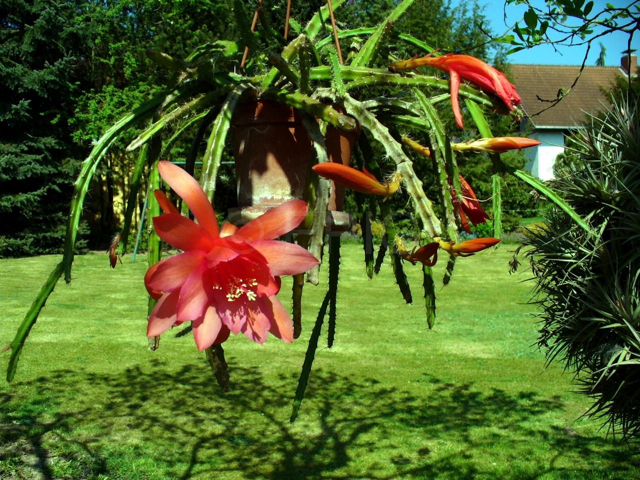 Aporocactus-Naja-1476