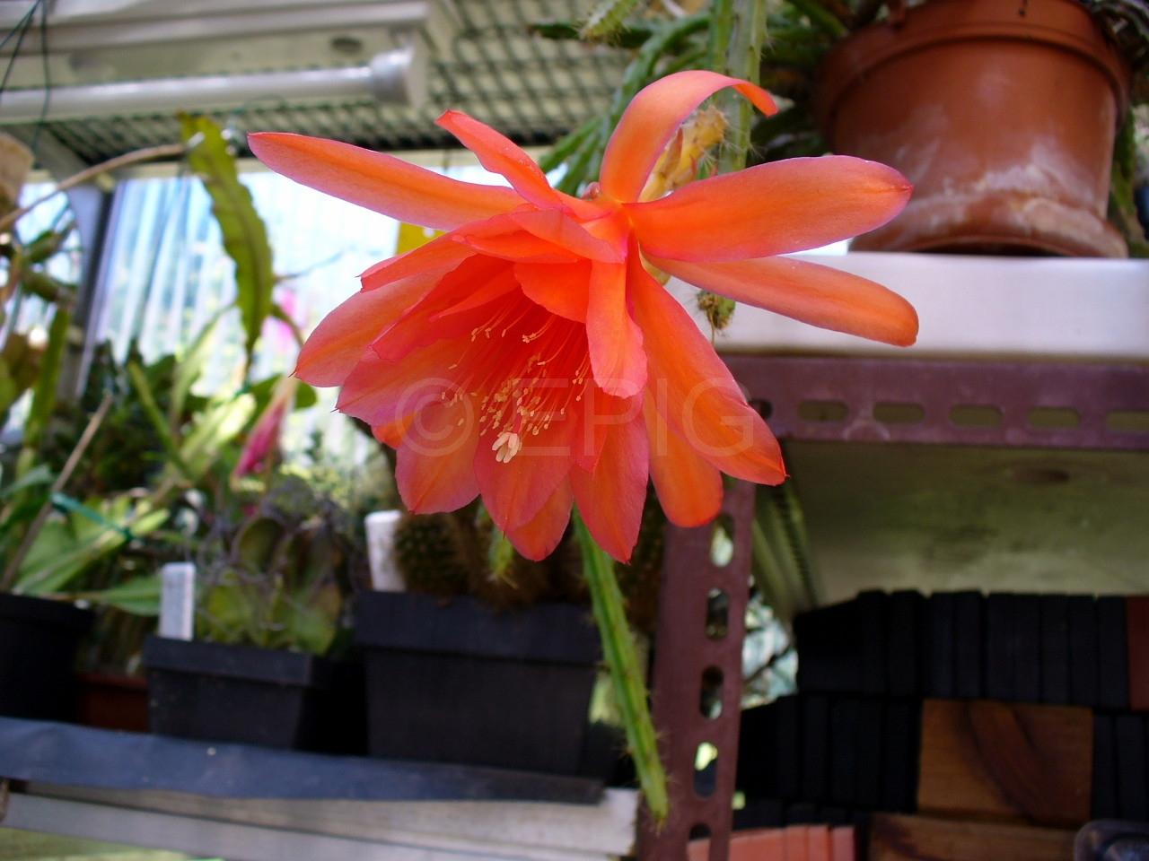 Aporocactus-Naja-I-1476
