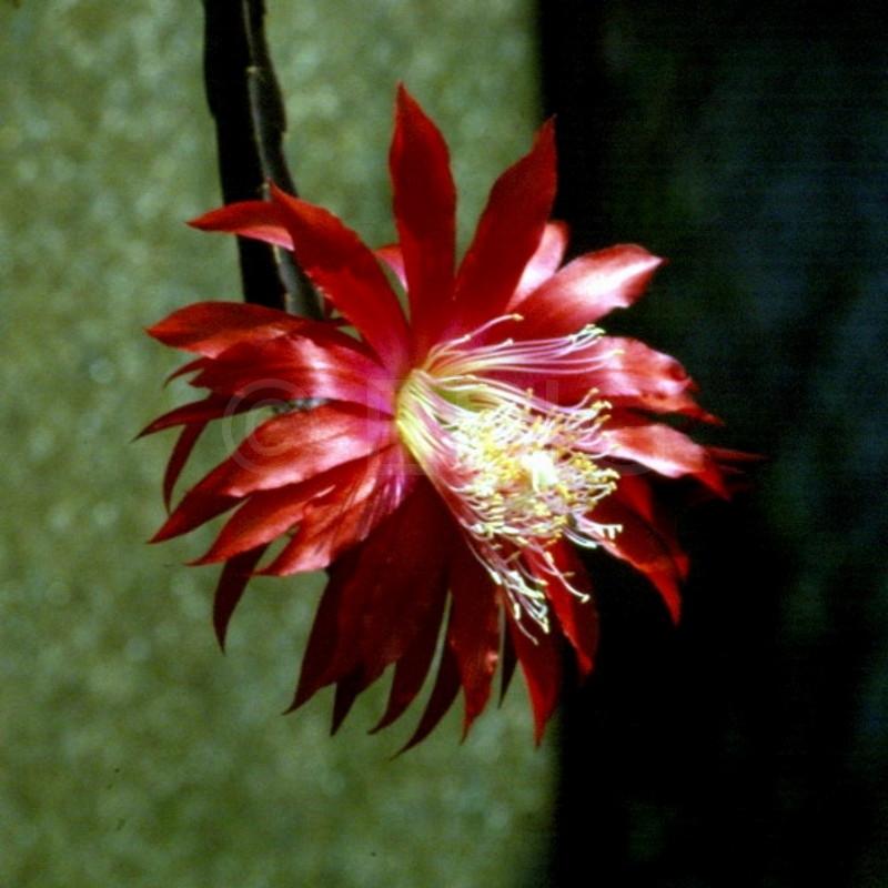 Aporocactus-Red-Spider-1552