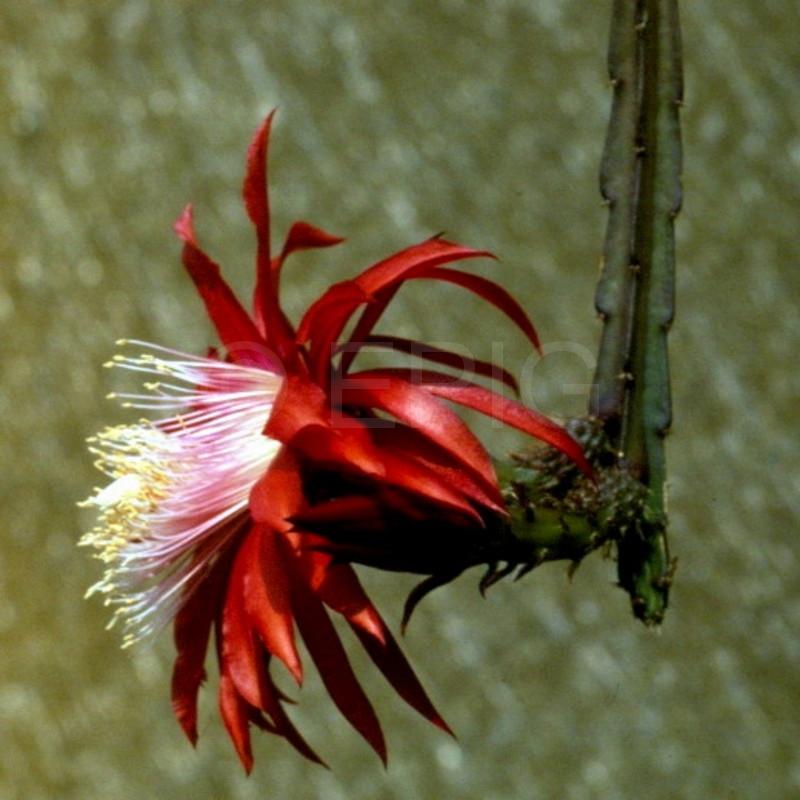 Aporocactus-Red-Spider-I-1552