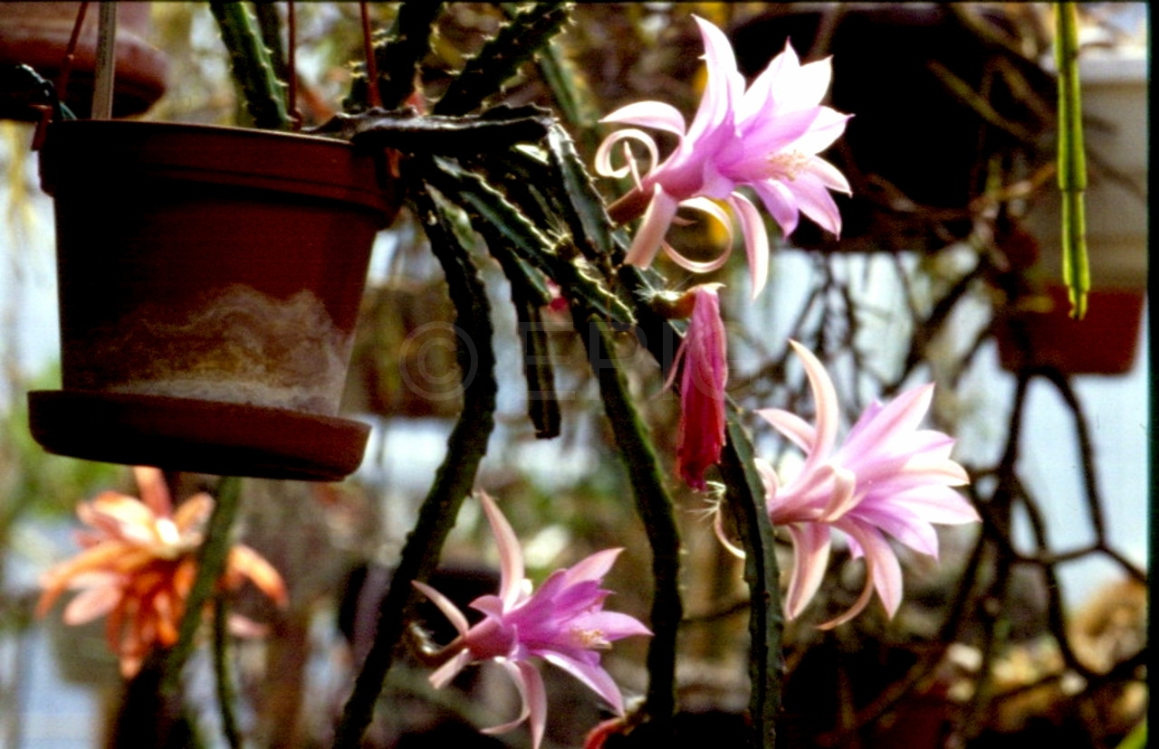 Aporocactus-Temple-Glow-1482