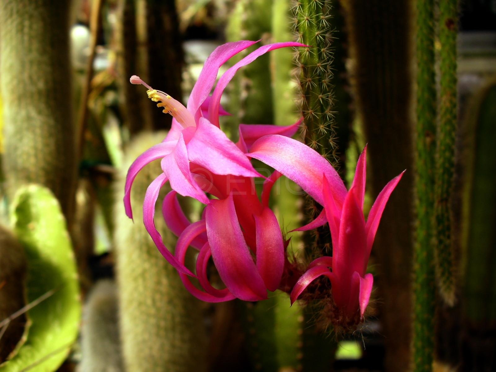 Aporocactus-flagelliformis-1819-2