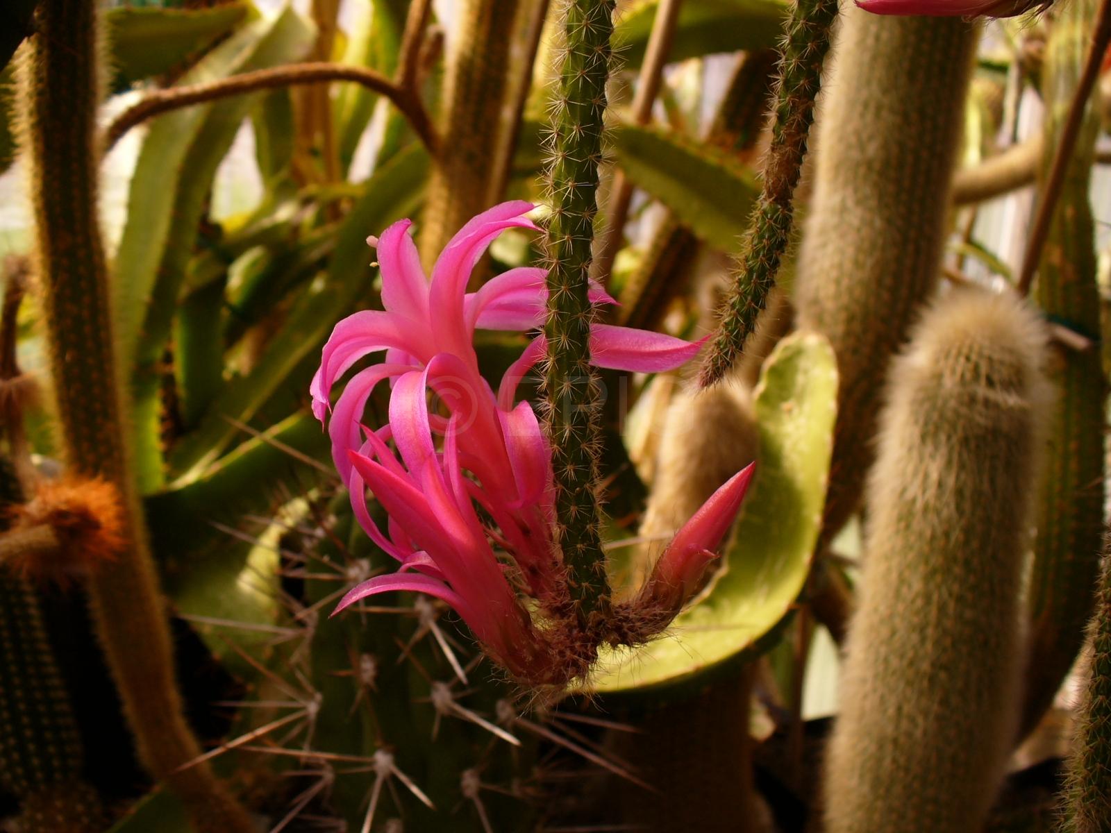Aporocactus-flagelliformis-1819-3