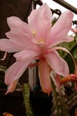 Aporocactus-Beauty-1588-2