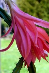Aporocactus-Carolina-1818-2