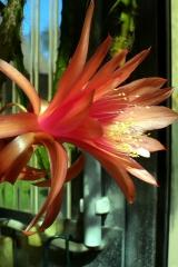 Aporocactus-Helena-1391