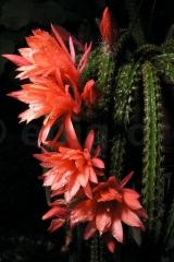 Aporocactus-Hybride-Mallisonii-3