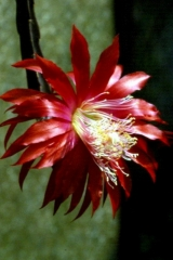 Aporocactus-Red-Spider-1552