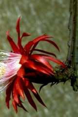 Aporocactus-Red-Spider-I-1552