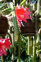 Aporocactus-mallisonii-1219