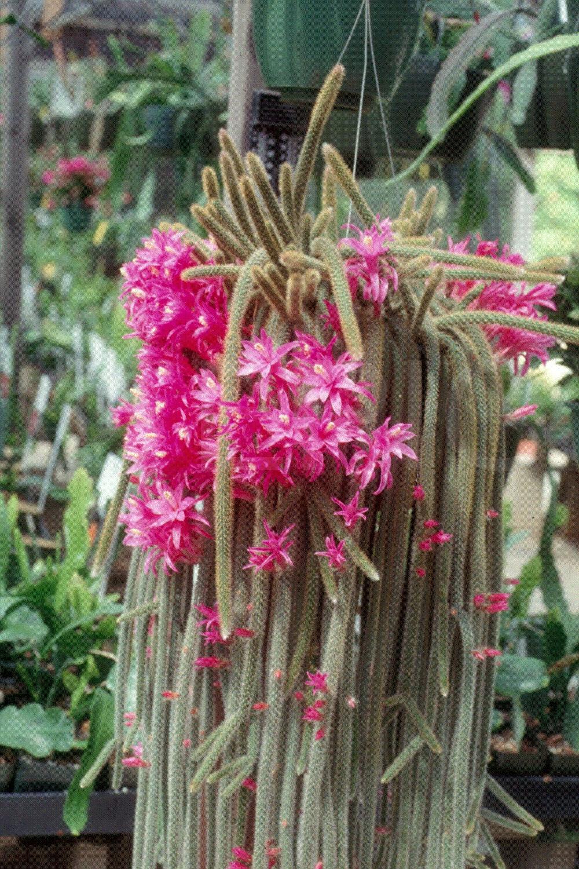 Aporocactus flagelliformis (Foto Rainbow Gardens)