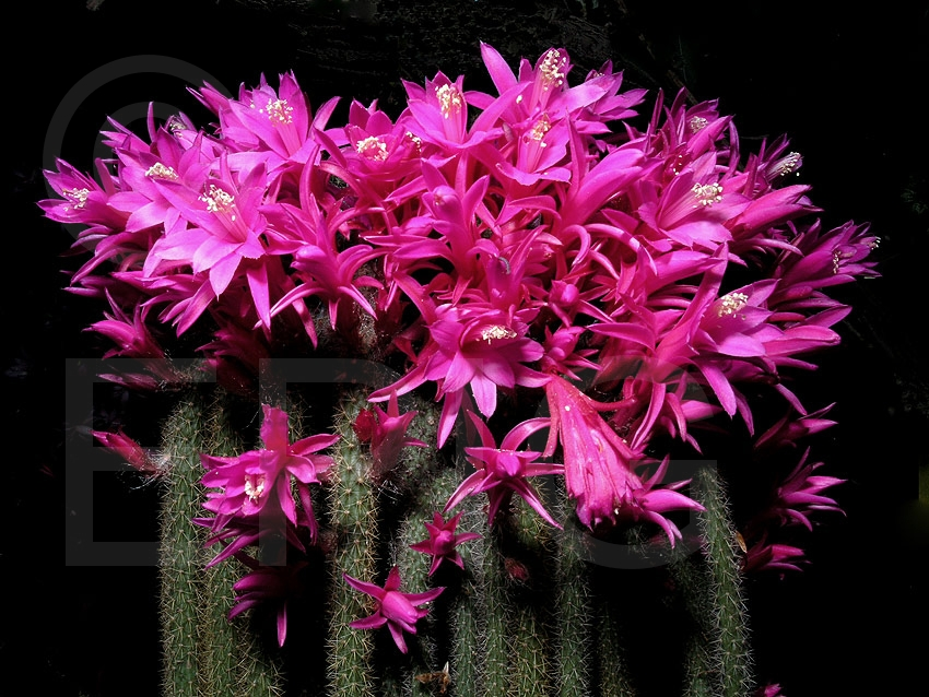 Aporocactus flagelliformis (f. flagliformis) (Foto Heiner Düsterhaus)