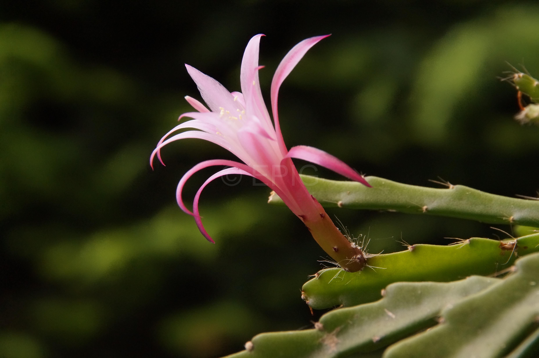 Aporophyllum 'Bling Bling' (Foto Rudolf Heßing-Herick)