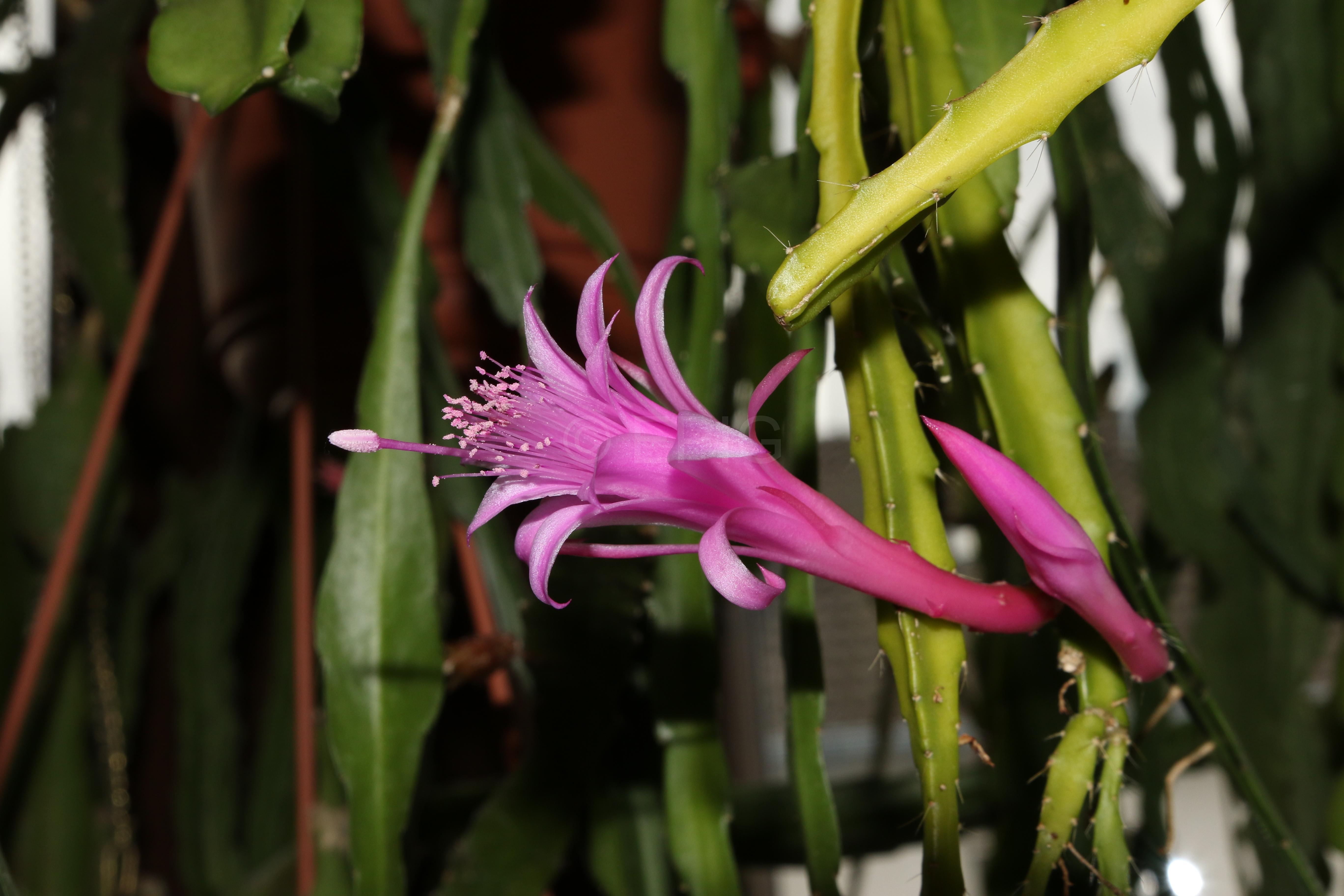 Aporophyllum 'Elfentanz' (Foto Walter Widmann)