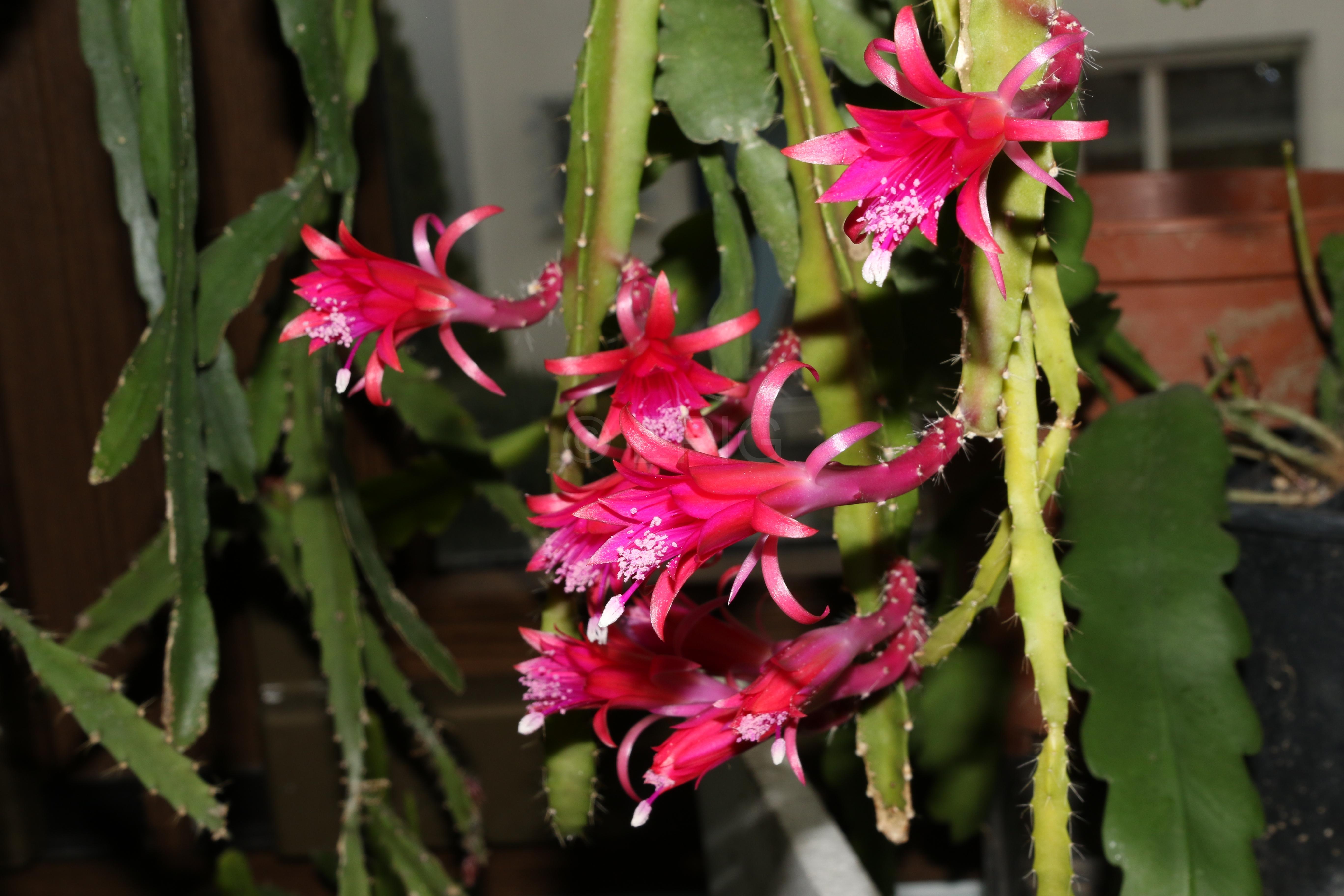 Aporophyllum 'Elfentraum' (Foto Walter Widmann)