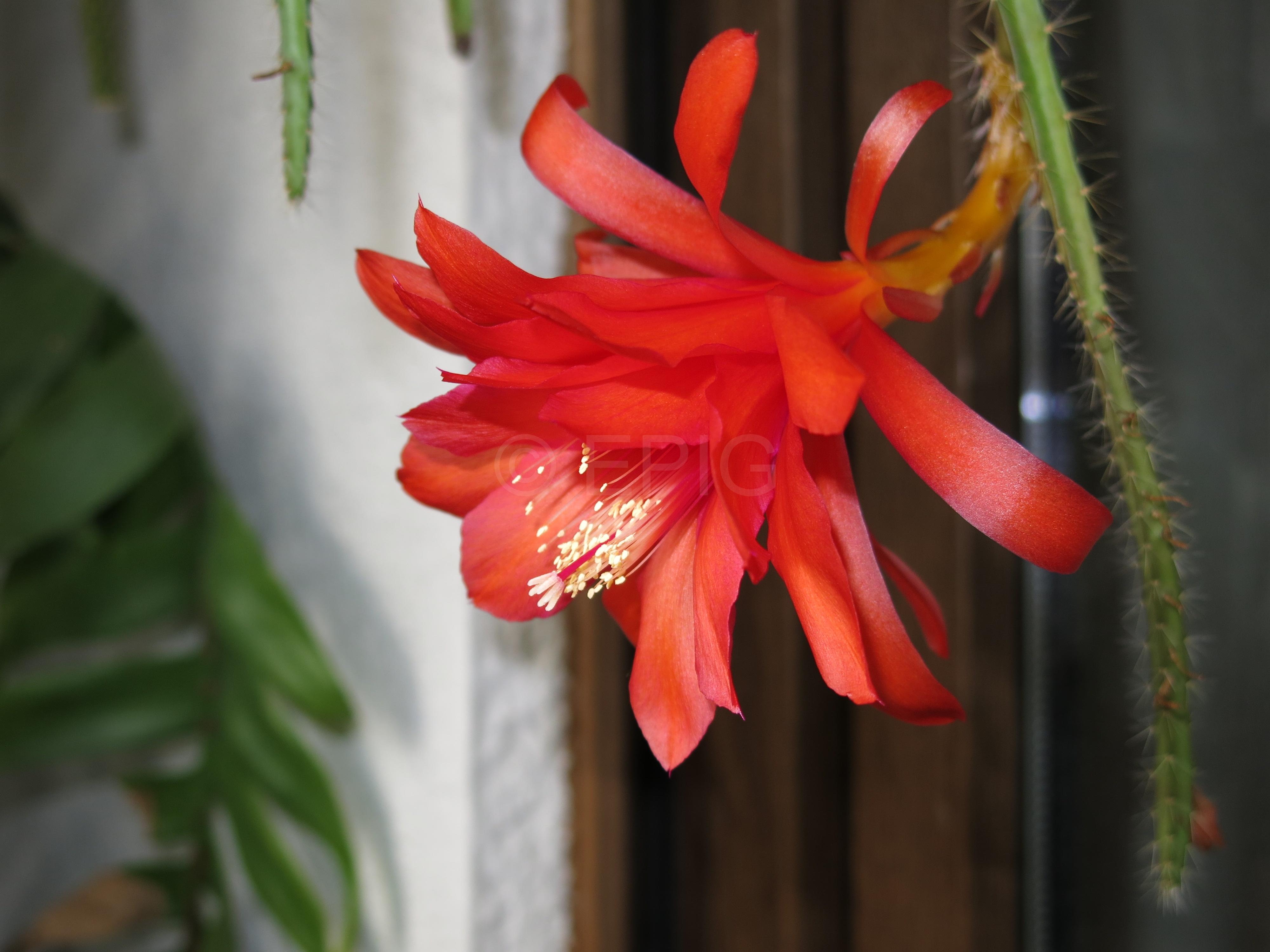 Aporophyllum 'Gillian' (Foto Walter Widmann)