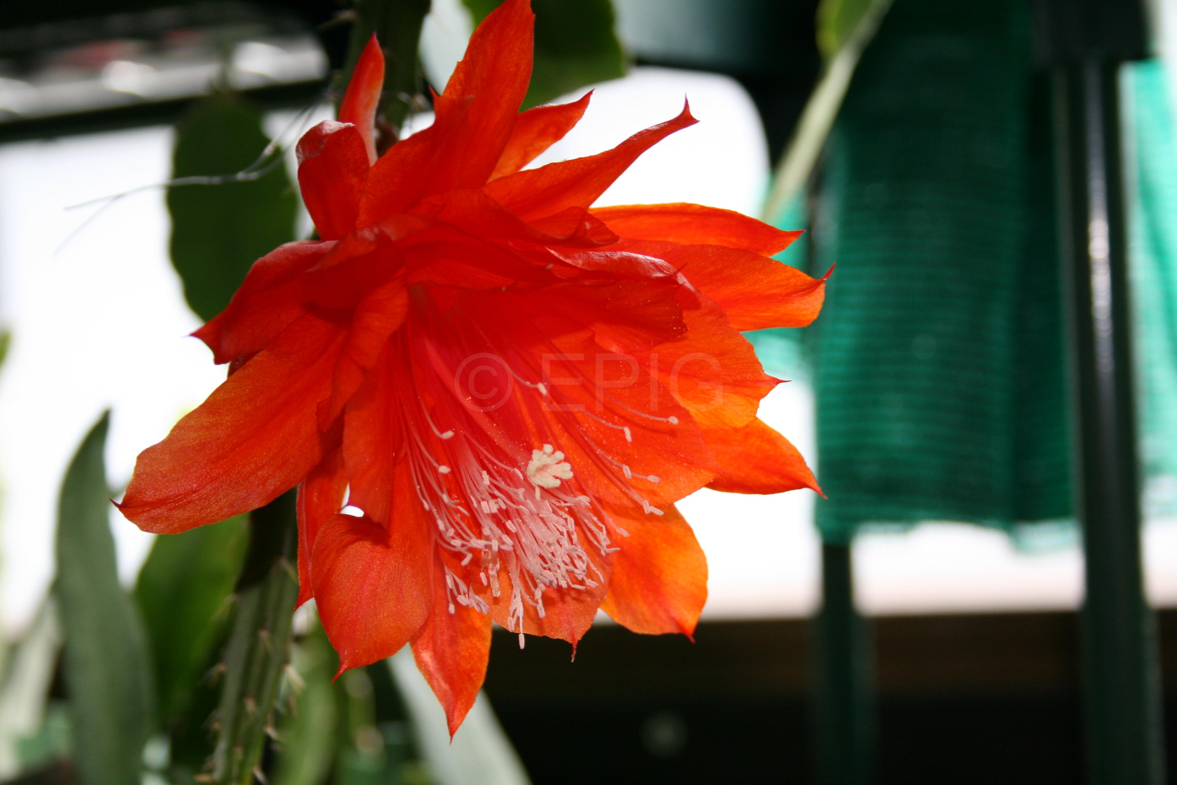 Aporophyllum 'Goldie Paetz' (Foto Walter Widmann)