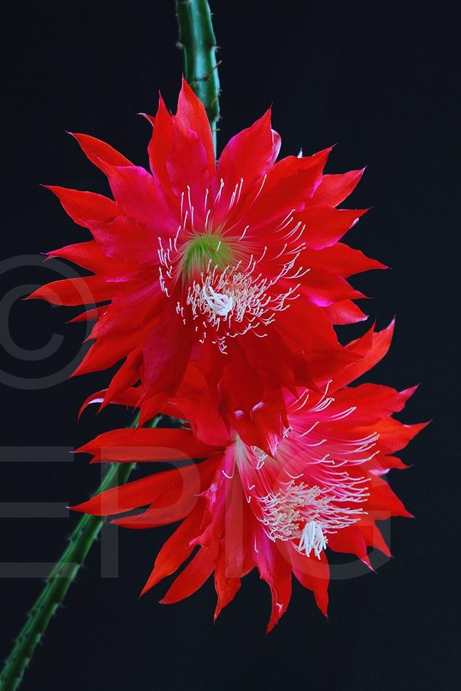Aporophyllum 'Peggys Red Spider' (Foto Heiner Düsterhaus)