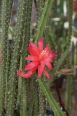 Aporophyllum 'Leptohis' (Foto Walter Widmann)