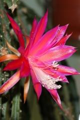 Aporophyllum 'Luzifer Paetz' (Foto Walter Widmann)