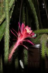Aporophyllum 'Rolfs Nr.2' (Foto Walter Widmann)