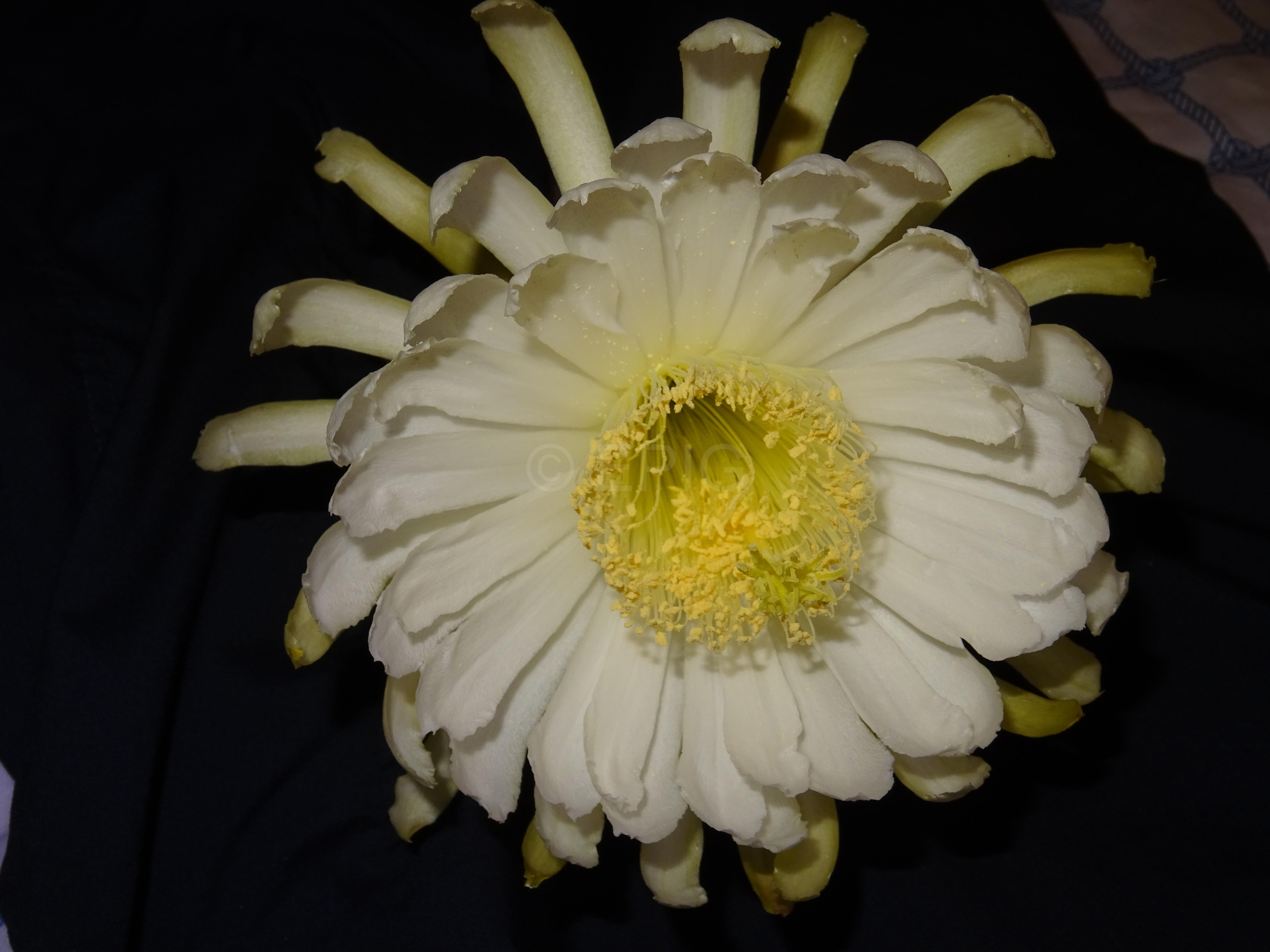 Deamia montalvoae (Blüte von vorne (Foto Tobias Pfeil)