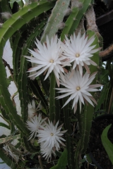 Deamia chontalensis (Foto Horst Kündiger)