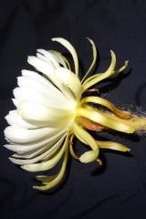 Deamia montalvoae (Blüte von der Seite (Foto Tobias Pfeil)