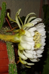 Deamia montalvoae gesamte Pflanze mit Blüte (Foto Tobias Pfeil)