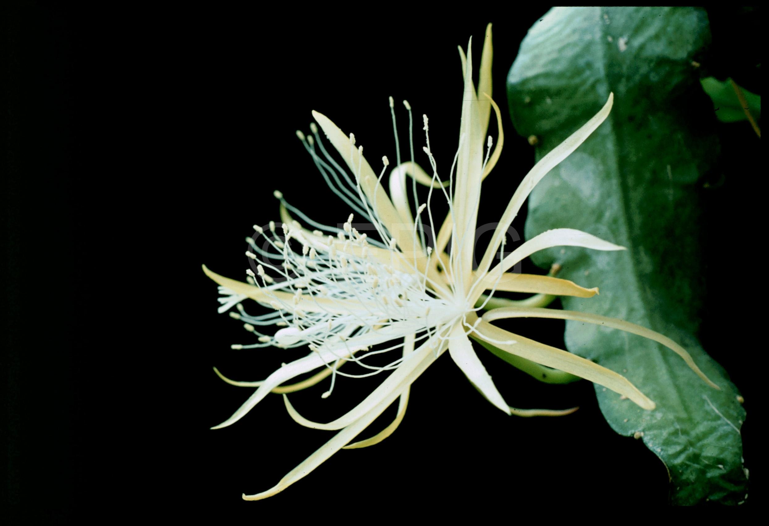 Disocactus macranthus v glaucocladus Lau 1263 (Foto Rainbow Gardens)