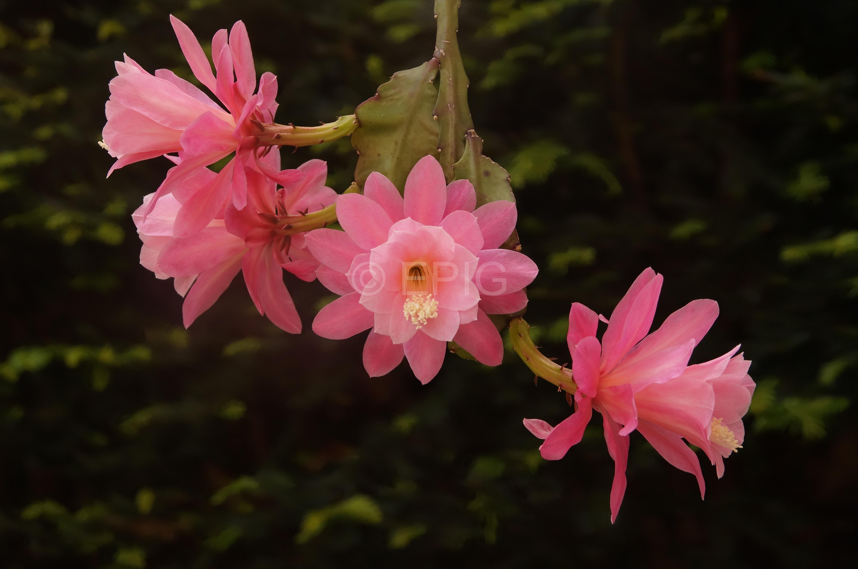 Disocactus phyllanthoides Klon Lautner Klon 1 x Lautner Klon 2 (Foto Rudolf Heßing-Herick)
