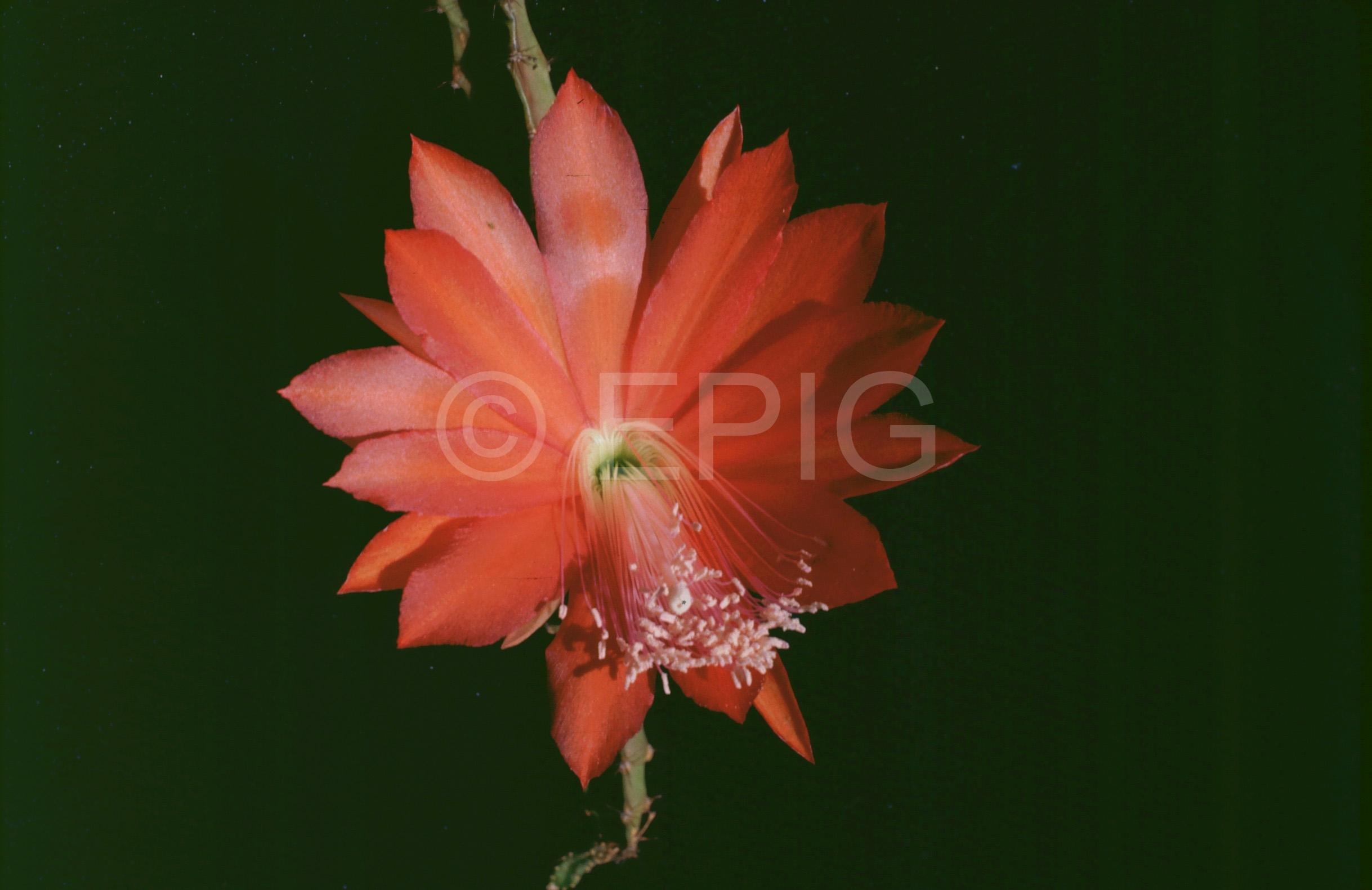 Disocactus speciosus (schrankii) (Foto Rainbow Gardens)