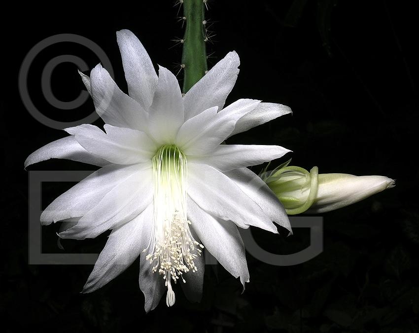 Disocactus speciosus ssp. speciosus f. amecamensis (Foto Heiner Düsterhaus)