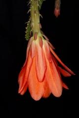 Disocactus speciosus ssp. bierianus (Foto Tobias Pfeil)