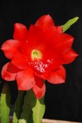 Disocactus ackermannii Oaxaca, Teotitlan del Camina - Huautla  (Foto Andreas Hofacker)
