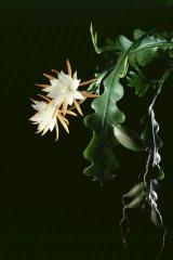 Disocactus anguliger (Foto Rainbow Gardens)