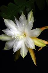 Disocactus anguliger (darrahii) (Foto Heiner Düsterhaus)
