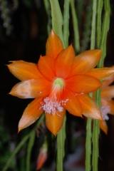 Disocactus aurantiacus WK 394 N8 (Foto Andreas Hofacker)