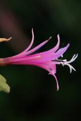 Disocactus biformis (Foto Rudolf Heßing-Herick)