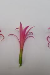 Disocactus biformis Vergleich verschiedener Blütenformen (Foto Tobias Pfeil)
