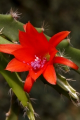 Disocactus cinnabarinus  Klon Krahn 399-3 (Foto Rudolf Heßing-Herick)