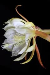 Disocactus crenatus ssp. crenatus (Foto Heiner Düsterhaus)