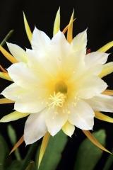 Disocactus crenatus ssp. kimnachii 'cooperi' (Foto Heiner Düsterhaus)
